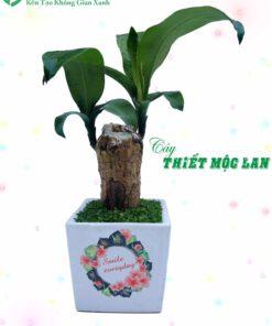cay-thiet-moc-lan-01